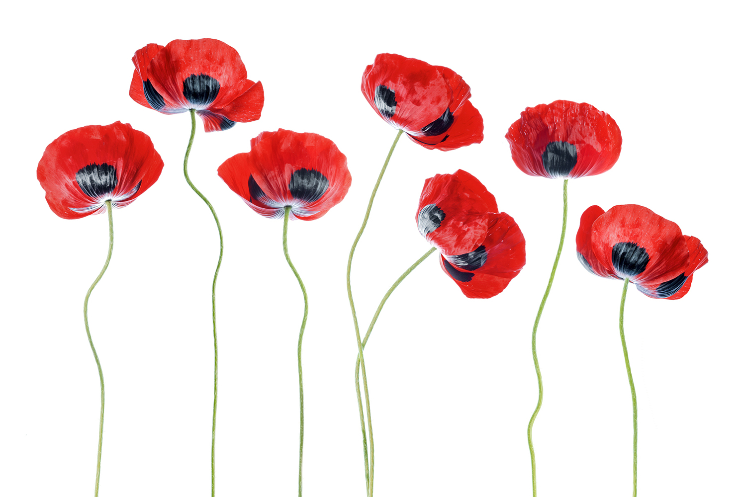 Papier peint photo Ladybird Poppies