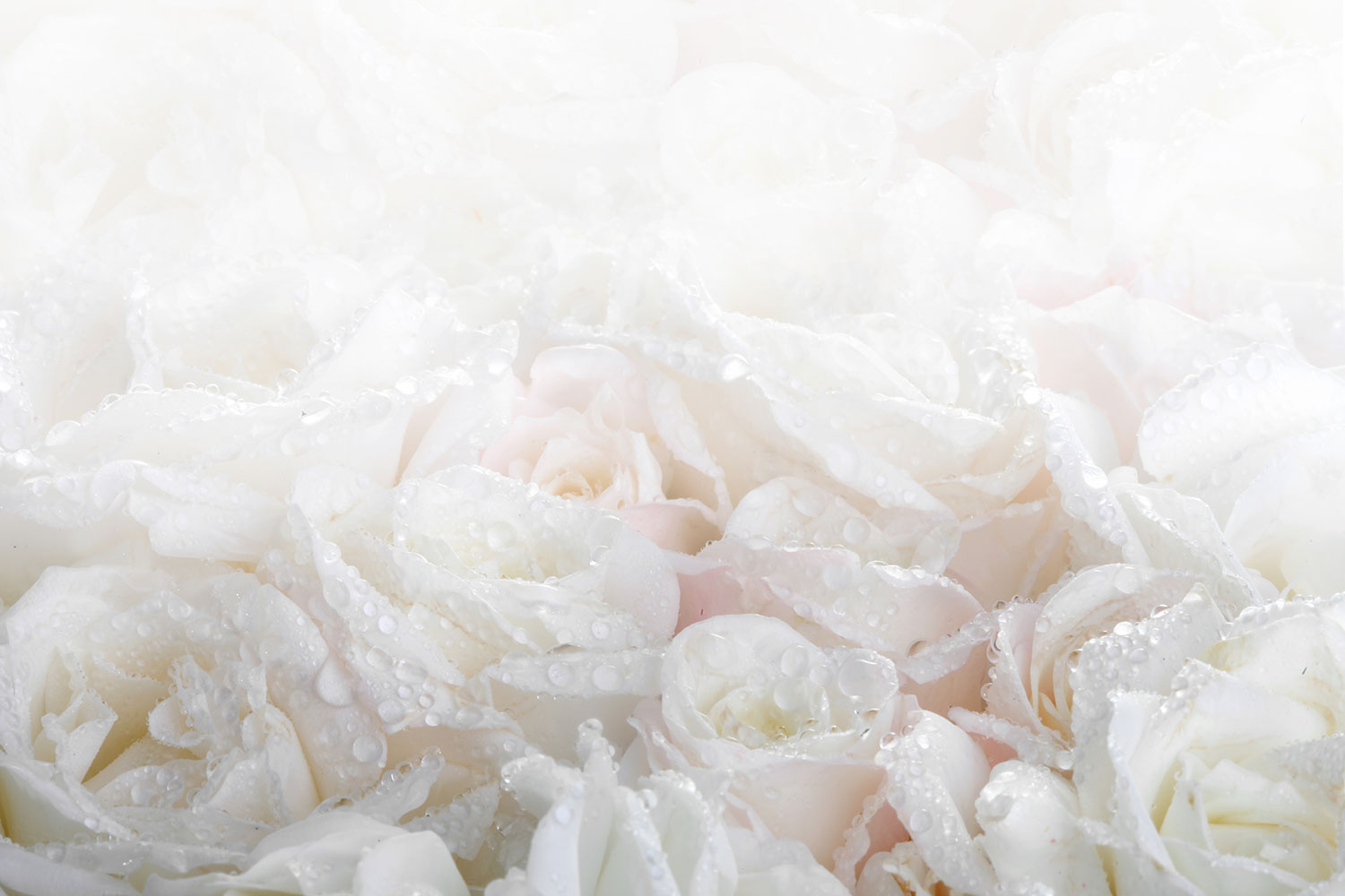 Photo Wallpaper White Roses In The Morning Dew